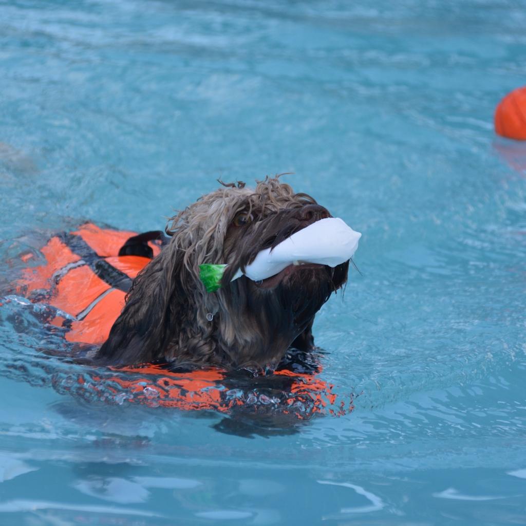 必死に泳ぐオーストラリアンラブラドゥードル