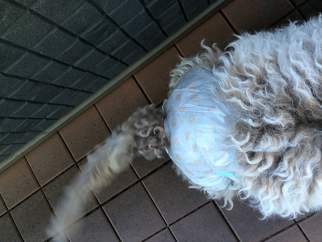 犬のオムツ姿1