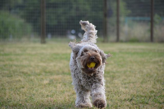 ボールを持ってくるロッティ